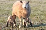 Preview of New born lambs in Spring