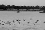 Preview of A Flock of Birds on The River Stour